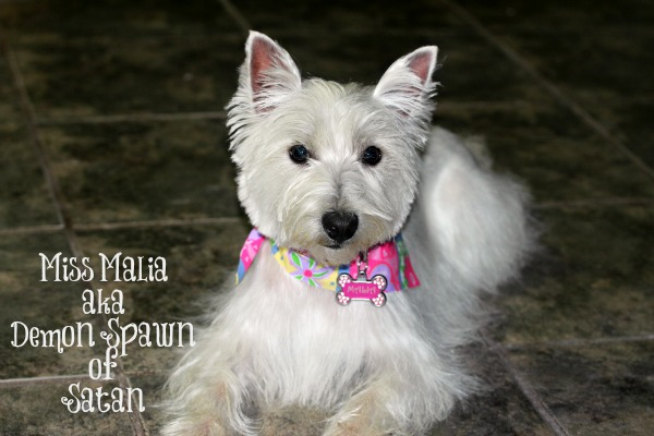 Malia the West Highland Terrier