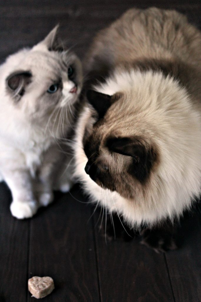 Cat friendly frozen banana bites shaped like hearts on a dark counter with two ragdoll cats with blue eyes in the background. Cat on the right is brown, also known as seal. The cat on the left is a blue mitted which means he's grey with white paws and markings on his face.